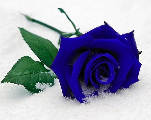 hinh hoa hong xanh dep