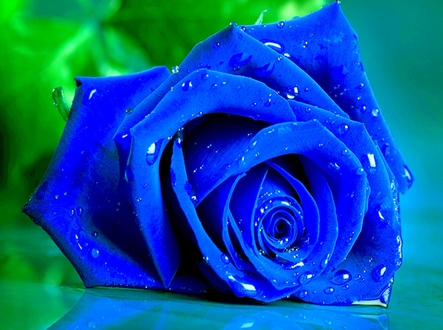 hoa hong xanh dep nhat 123