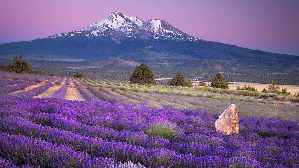 Những cánh đồng hoa oải hương đẹp nhất thế giới