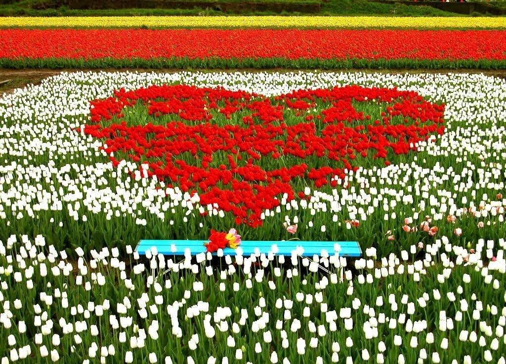 hinh nen hoa tulip 3 e1444895730217
