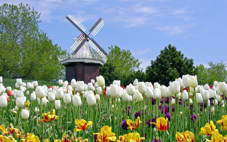 hinh nen hoa tulip