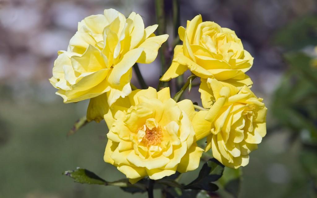 Tải ảnh hoa hồng vàng đẹp