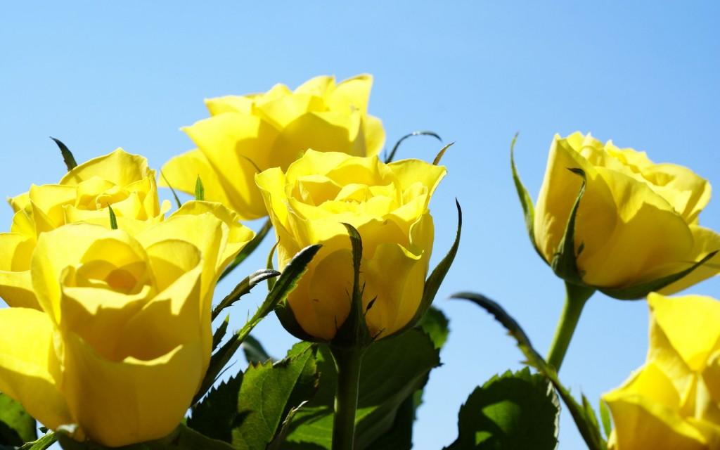 Ảnh bó hoa hồng vàng đẹp nhất