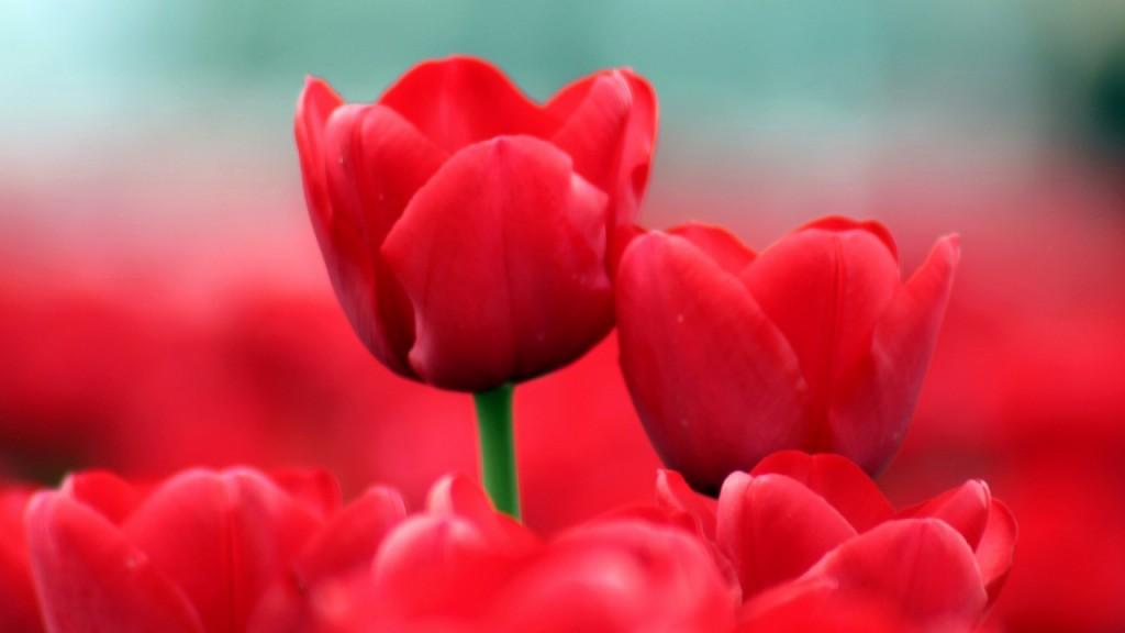 hinh nen hoa tulip 7554545