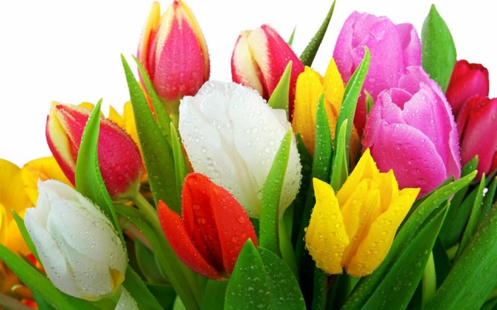 hinh nen hoa tulip 6645466