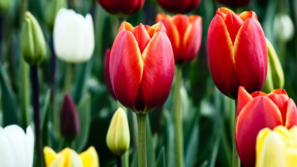 hinh nen hoa tulip dep 75202432