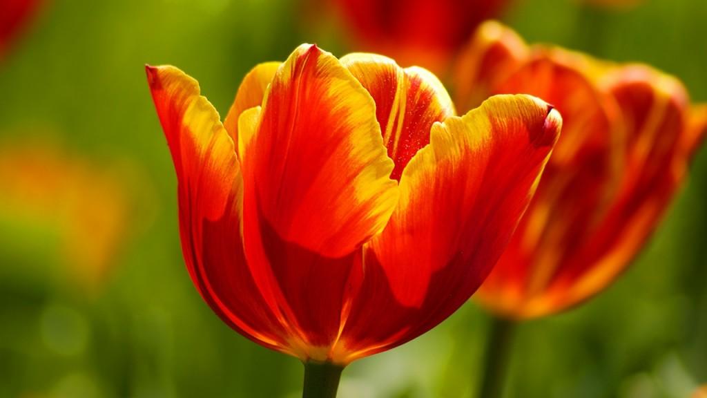 hinh nen hoa tulip 82024625