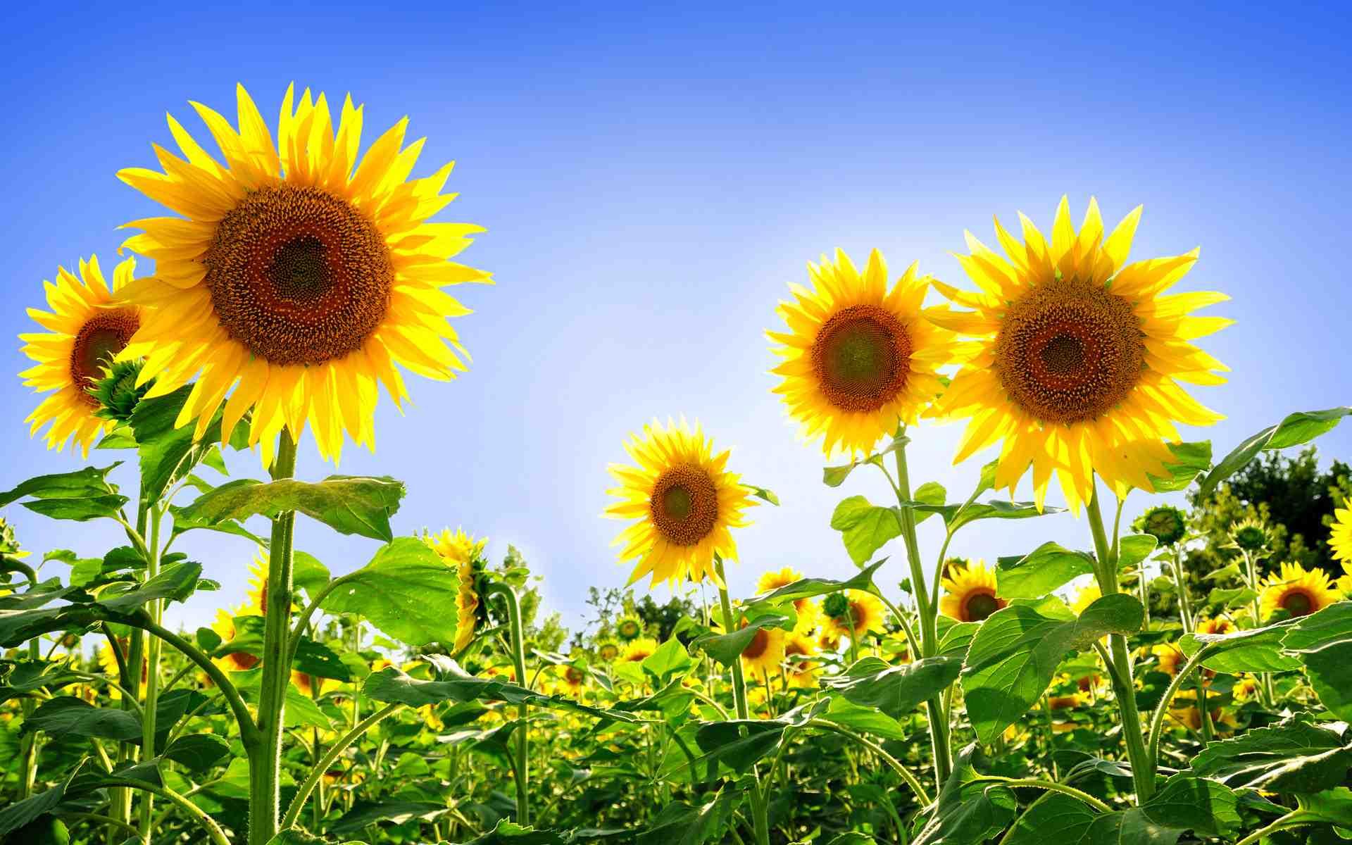 Hình ảnh 1 bông hoa hướng dương