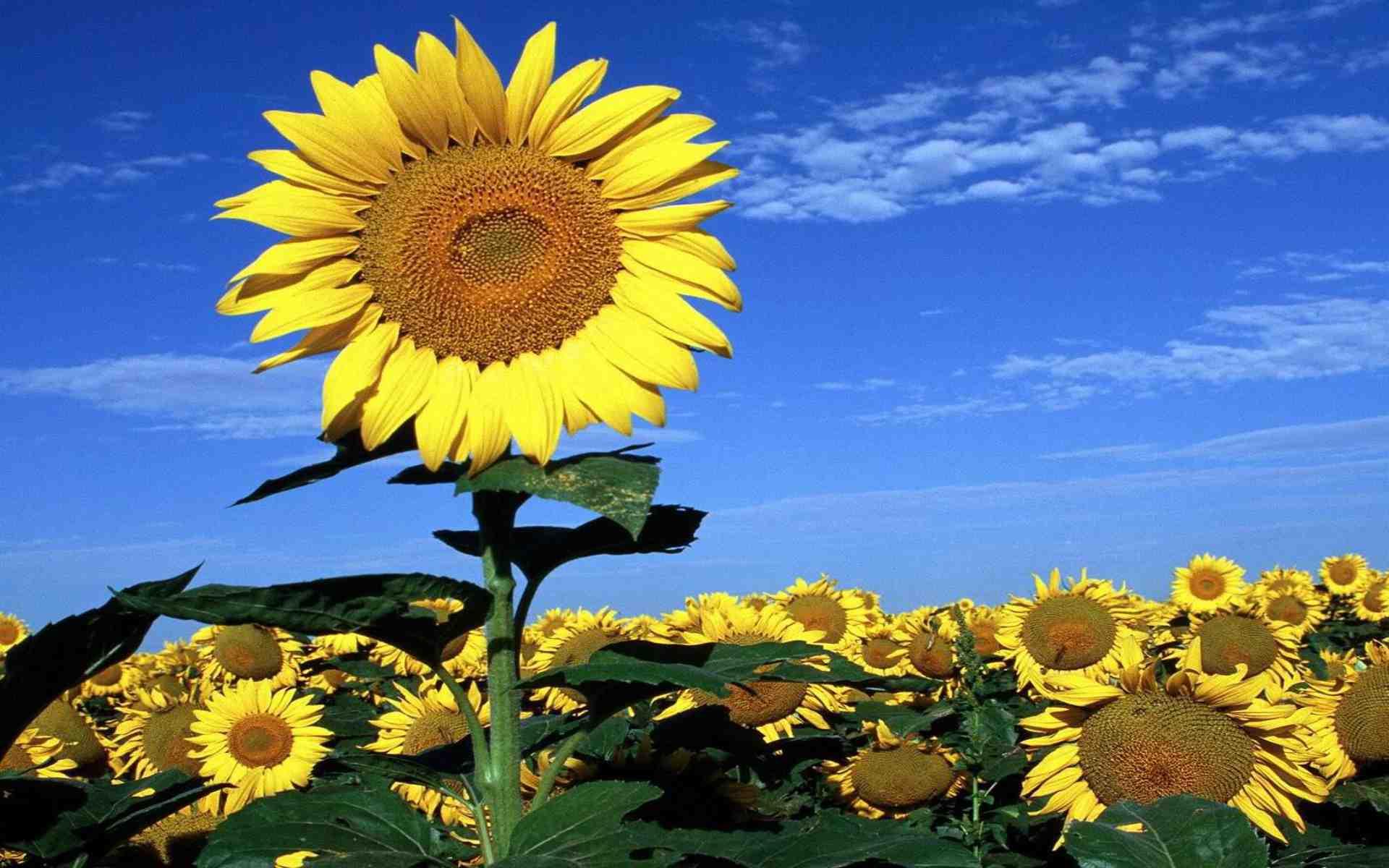 hinh nen hoa huong duong dep nhat 16