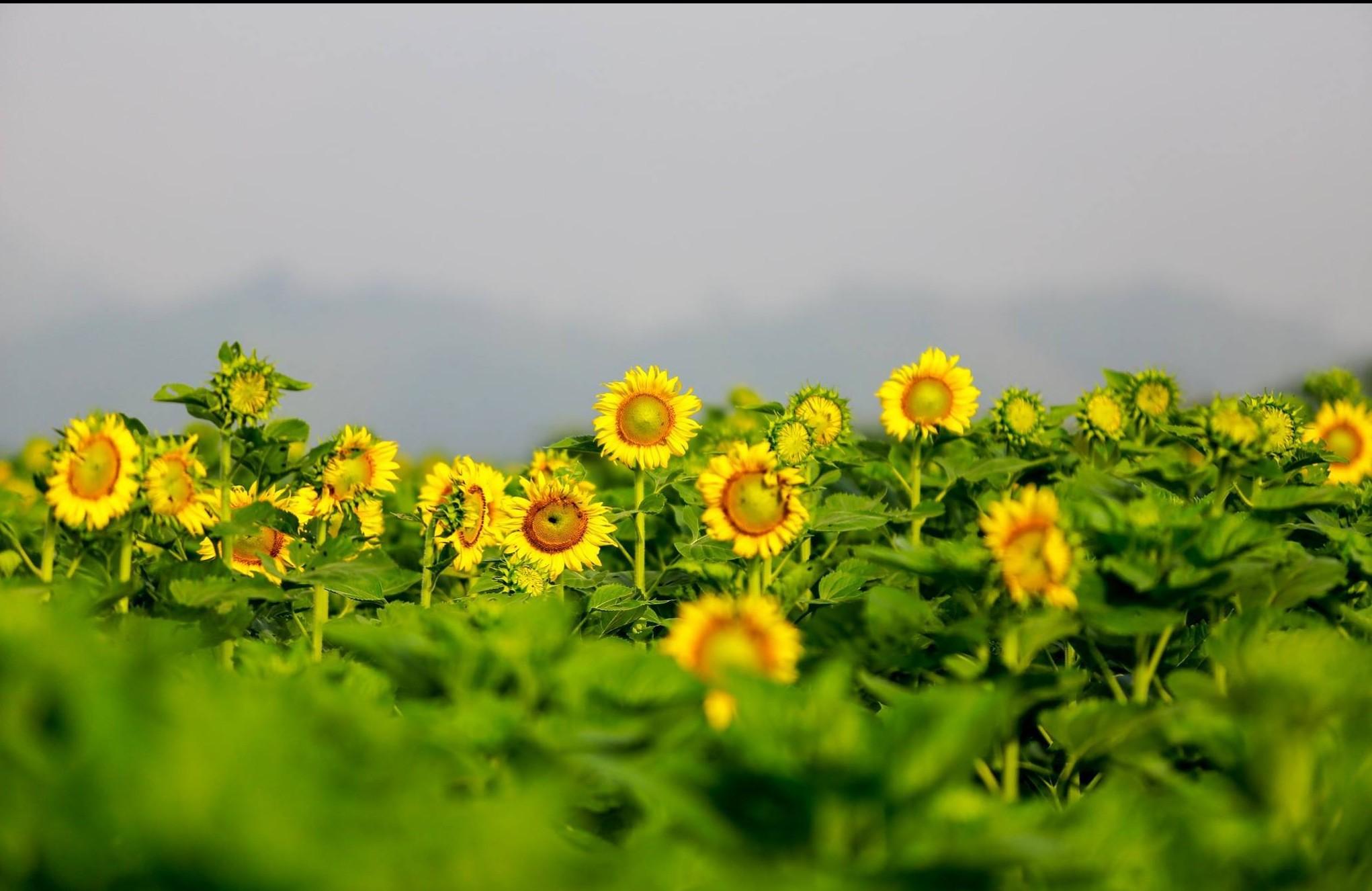 Tải hình ảnh hoa hướng dương
