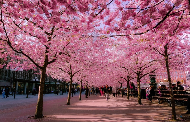 Hình ảnh hoa anh đào Anime