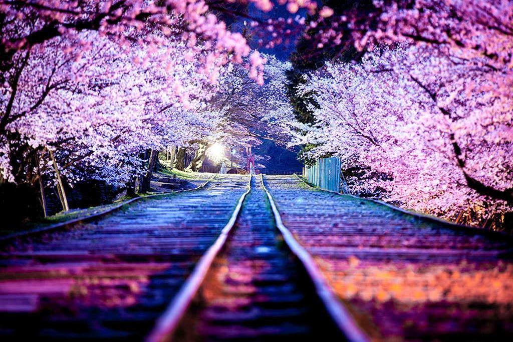 Hình ảnh hoa anh đào rơi Anime