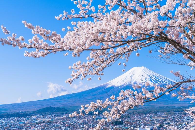 Hoa anh đào bên biểu tượng núi Phú Sĩ