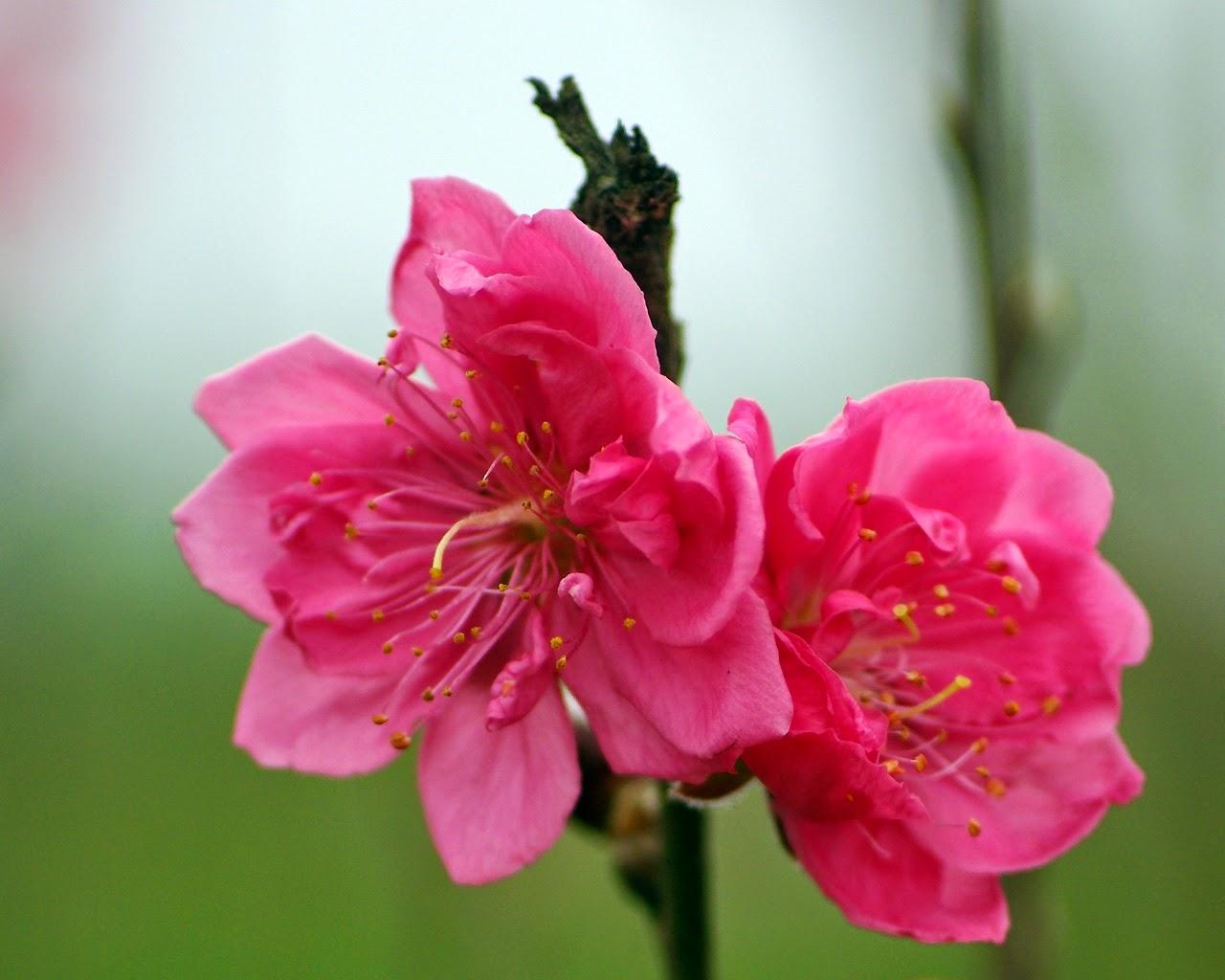 hinh nen hoa dao dep nhat