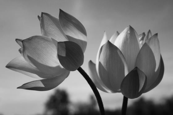 Hình ảnh bó hoa sen đẹp