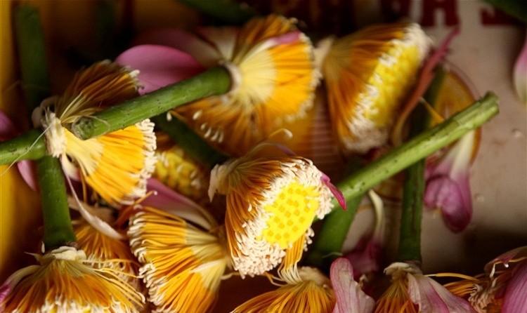 hoa sen 2