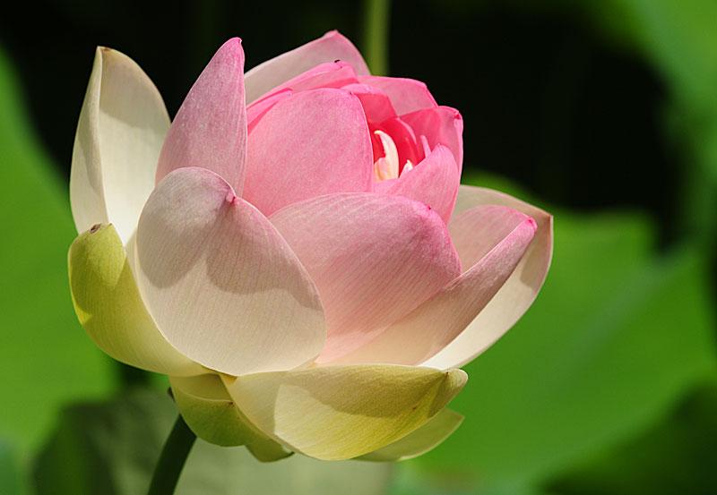 Hình ảnh hoa sen nở