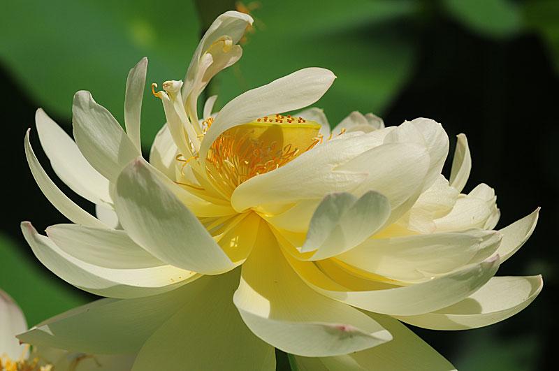 Hình ảnh hoa sen trắng