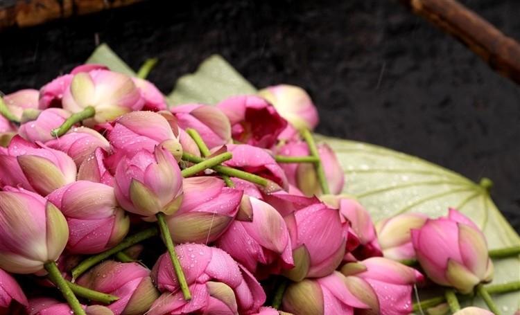 hinh hoa sen dep nhat