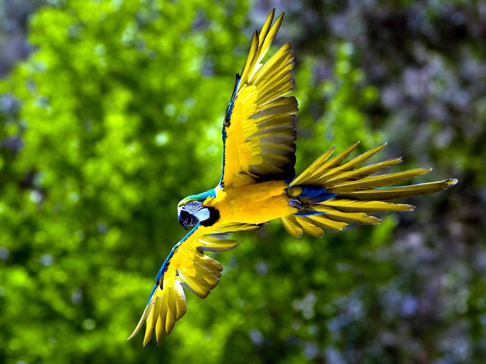 Vẹt màu xanh biến