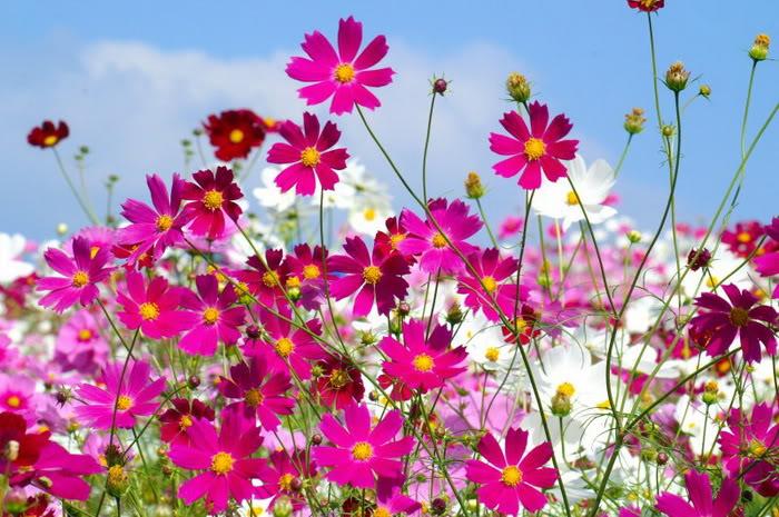 Cánh đồng hoa dại đẹp nhất thế giới