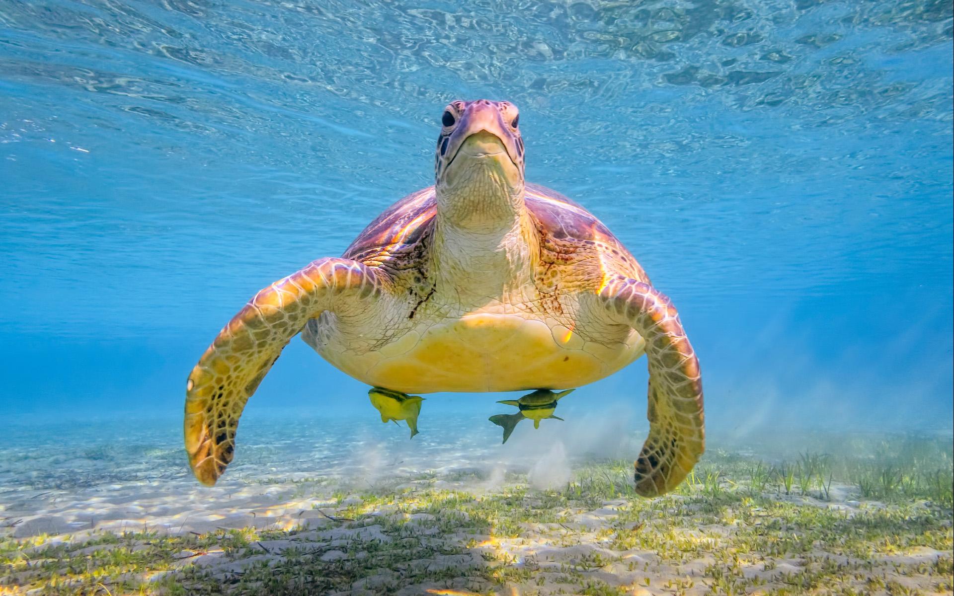 Một chú rùa lớn tuổi trong dòng nước trong