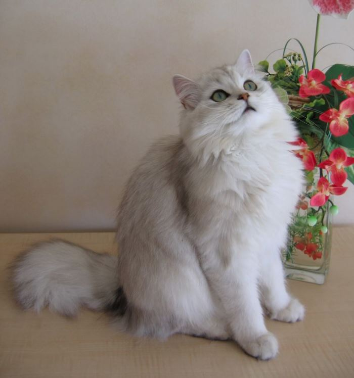 Mặt mèo Anh lông dài cũng to tròn