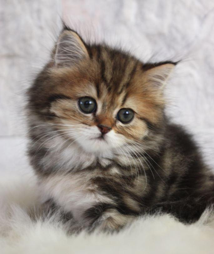 Lông mèo Anh lông dài có nhiều kiểu pha trộn