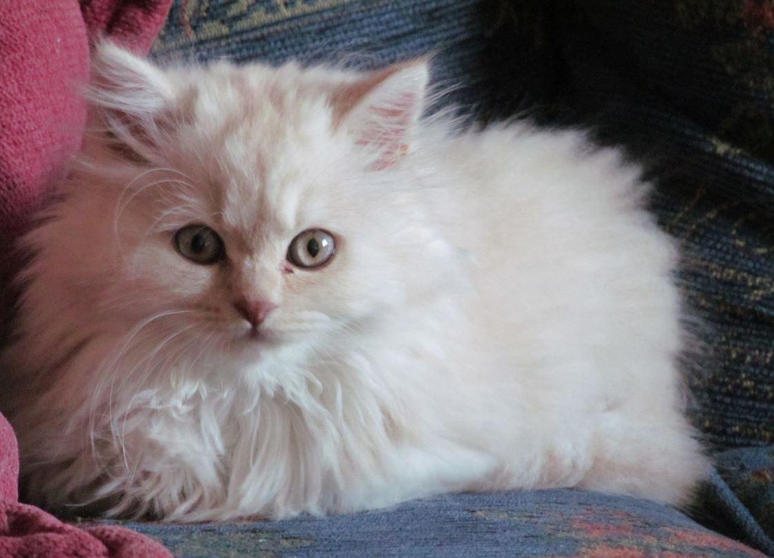 Mèo lông dài Anh có bộ lông dày