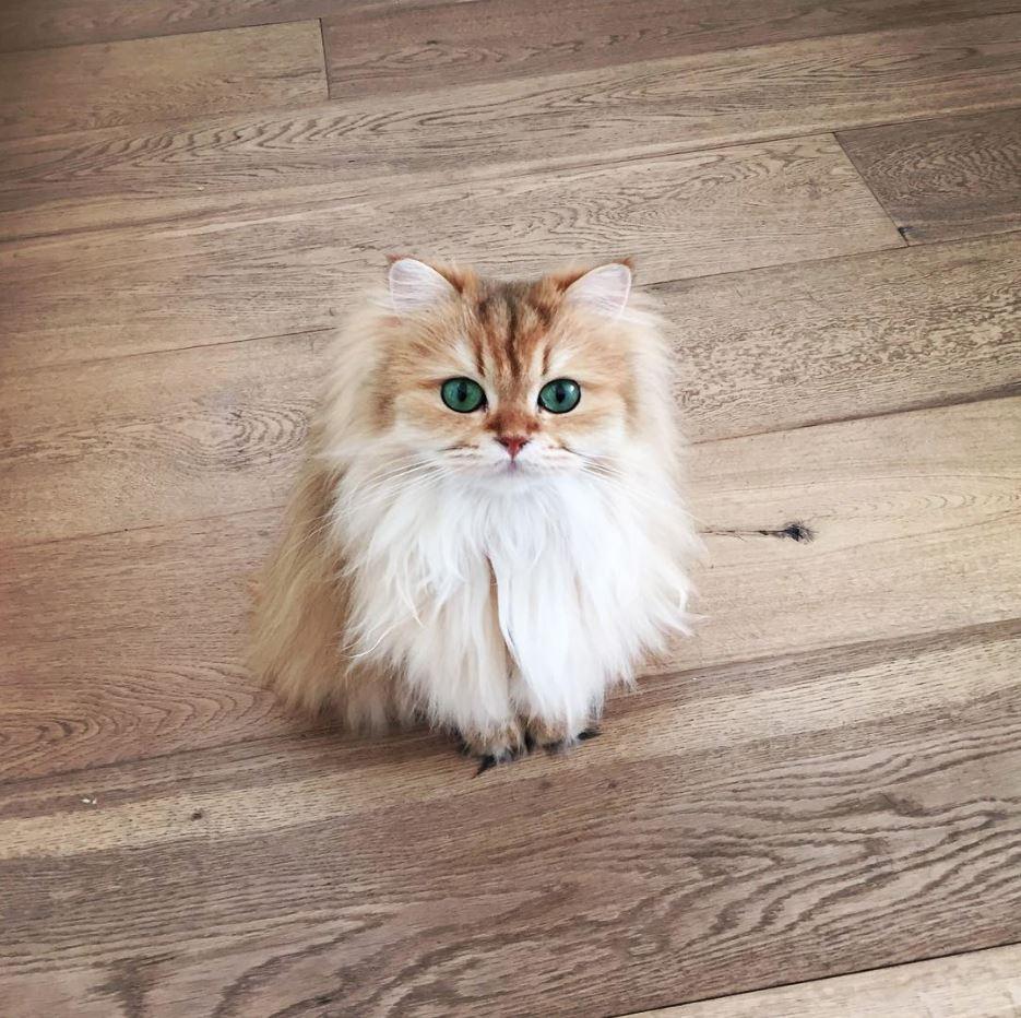 Một chú mèo lông vàng mắt xanh tuyệt đẹp