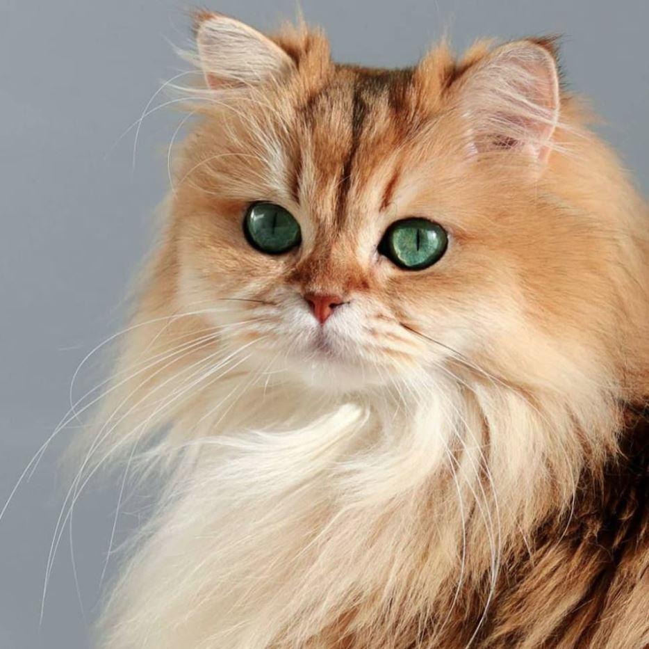 Cận cảnh vẻ đẹp của một chú mèo Anh lông dài