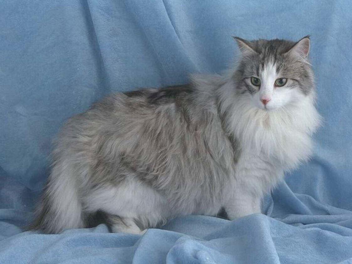 Một chú mèo với bộ lông xám đẹp mắt