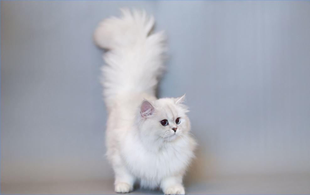 Đuôi dài, nhiều lông là đặc điểm dễ nhận thấy của mèo Anh lông dài