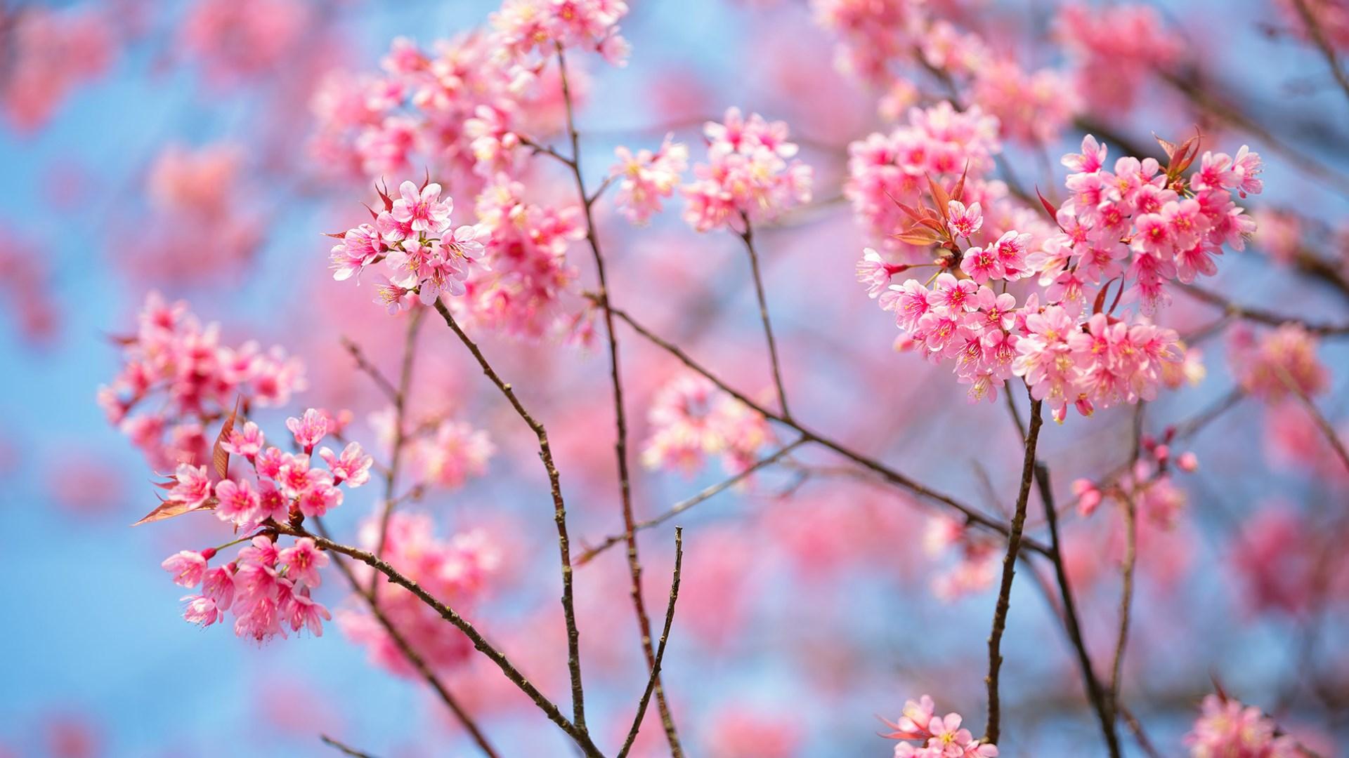 Cành hoa anh đào nở rộ