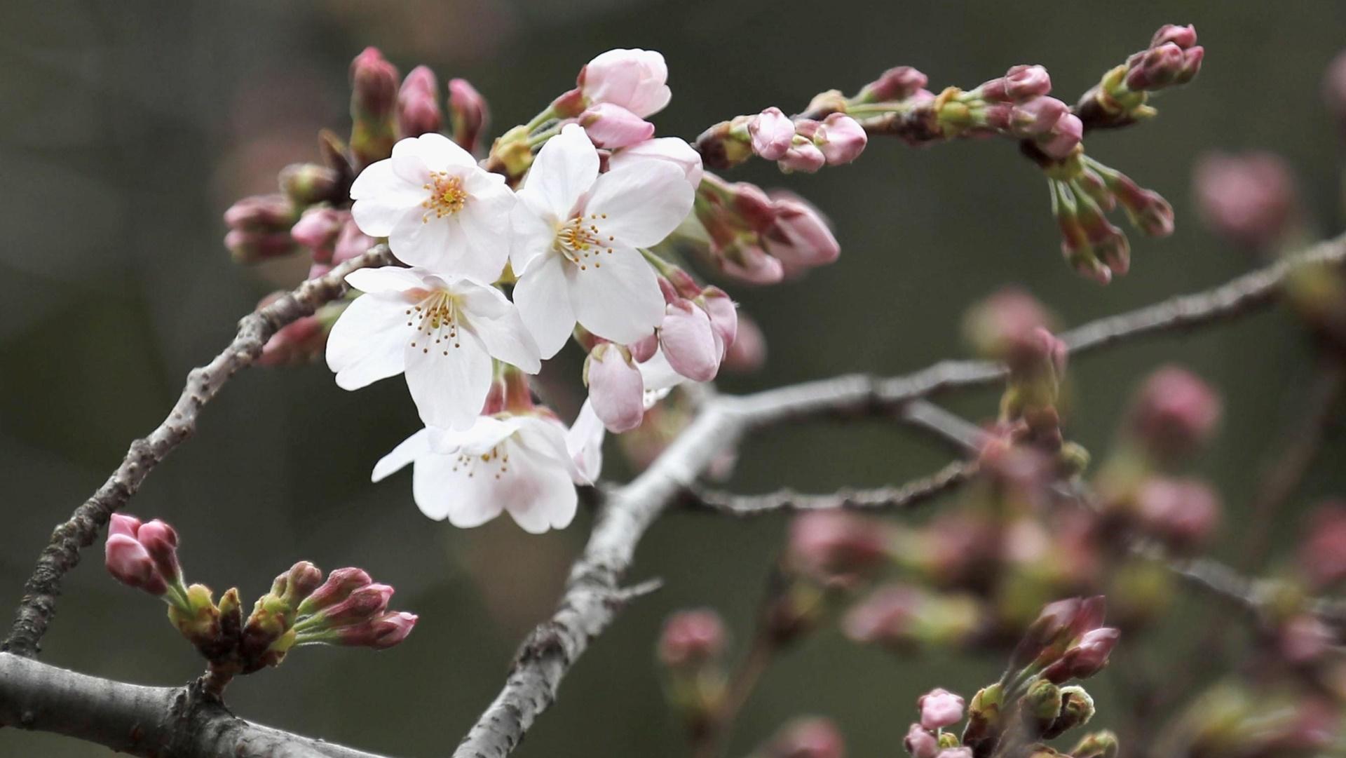Hoa anh đào xuất hiện vào mùa xuân