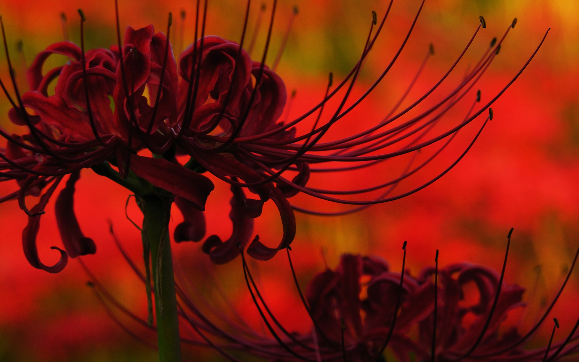 Hình nền hoa bỉ ngạn phong cách