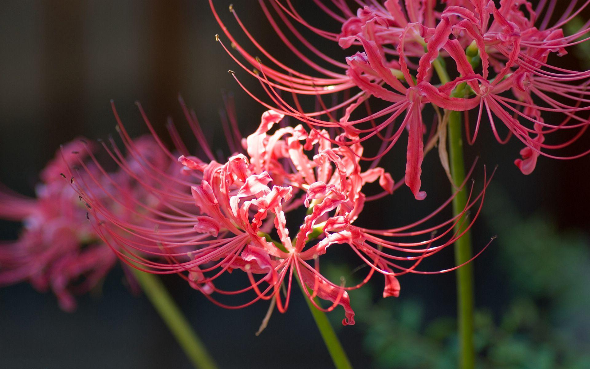 Một bức ảnh hoa bỉ ngạn tươi sáng hơn