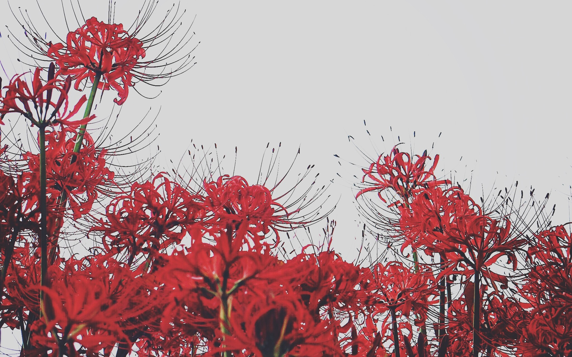 Hoa bỉ ngạn có ý nghĩa buồn