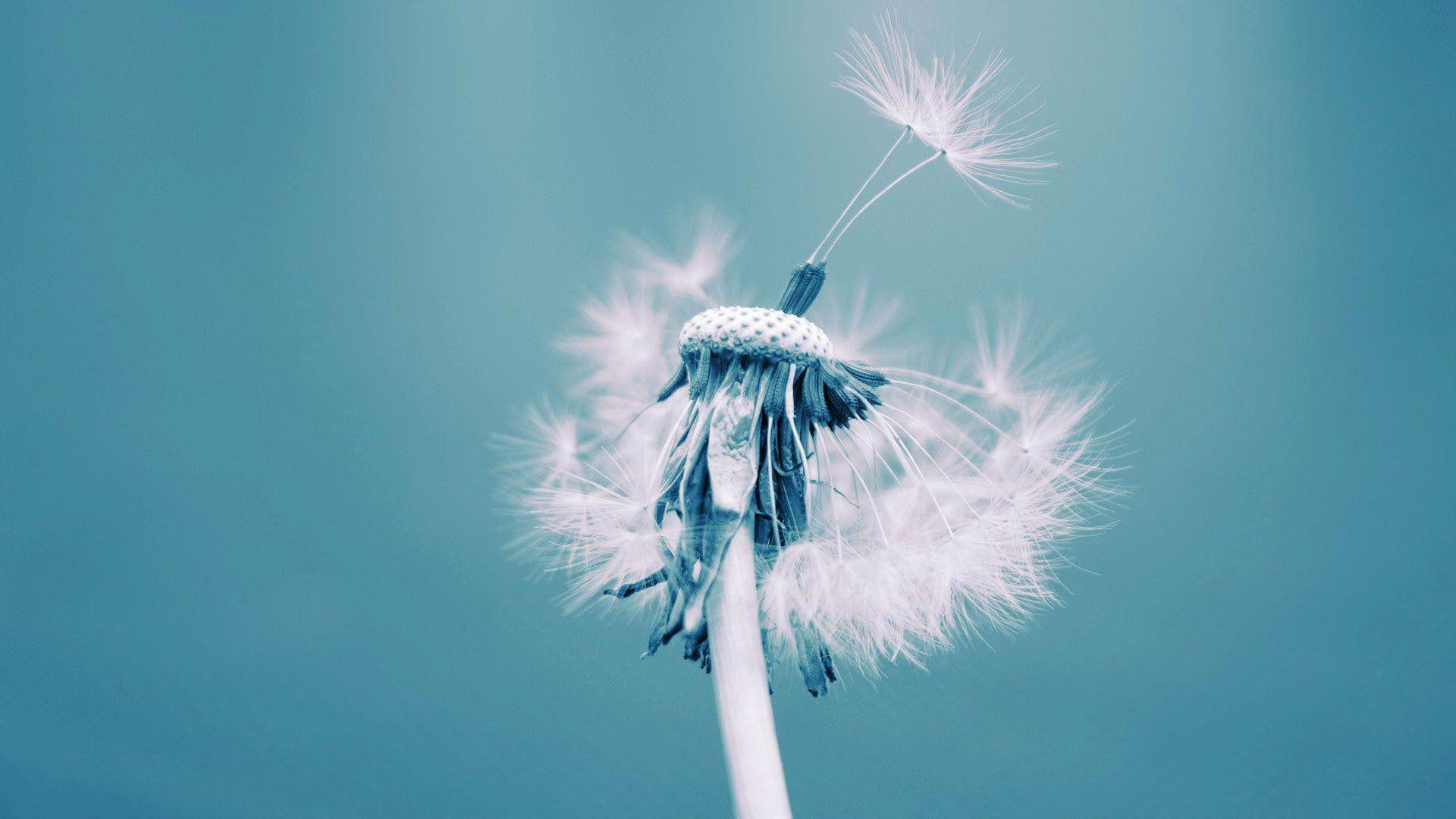 Canh hoa rất nhẹ nên rất dễ bị thổi bay