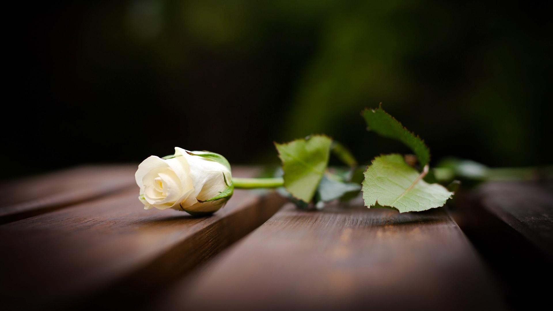 Ngoài ra còn có hoa hồng trắng nữa