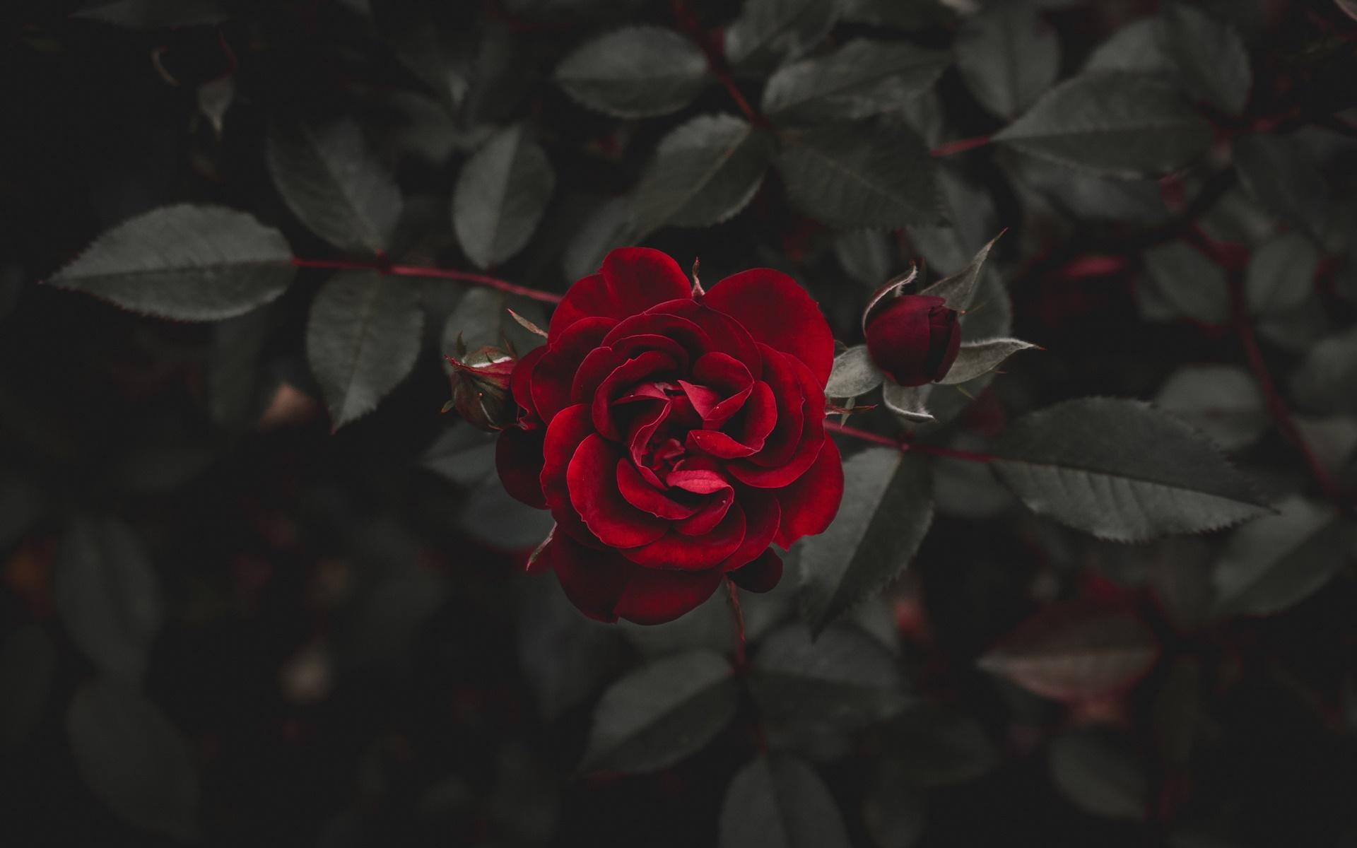 Hoa hồng mang nét quyến rũ rất riêng