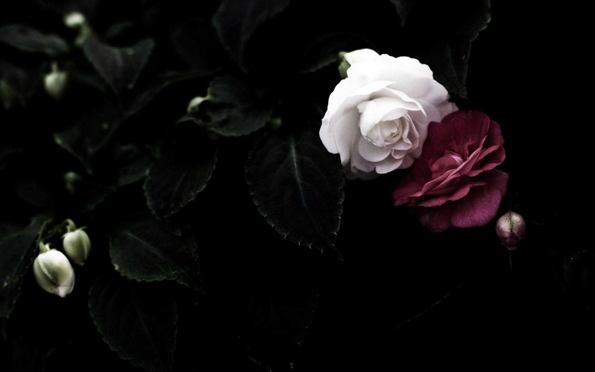 Hoa hồng luôn nằm trong top hình nền về hoa