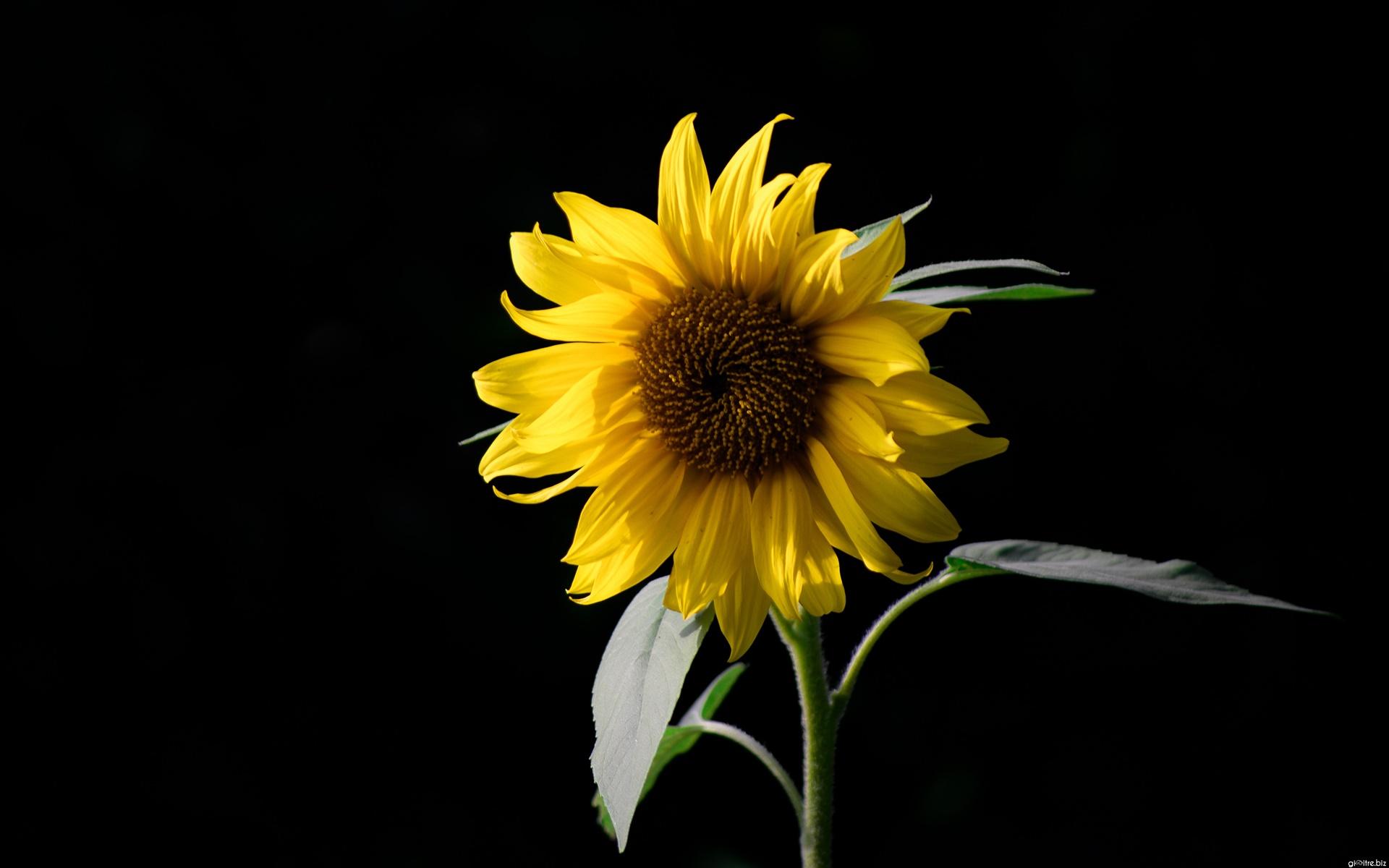 Tấm hình nền hoa hướng dương rất đẹp