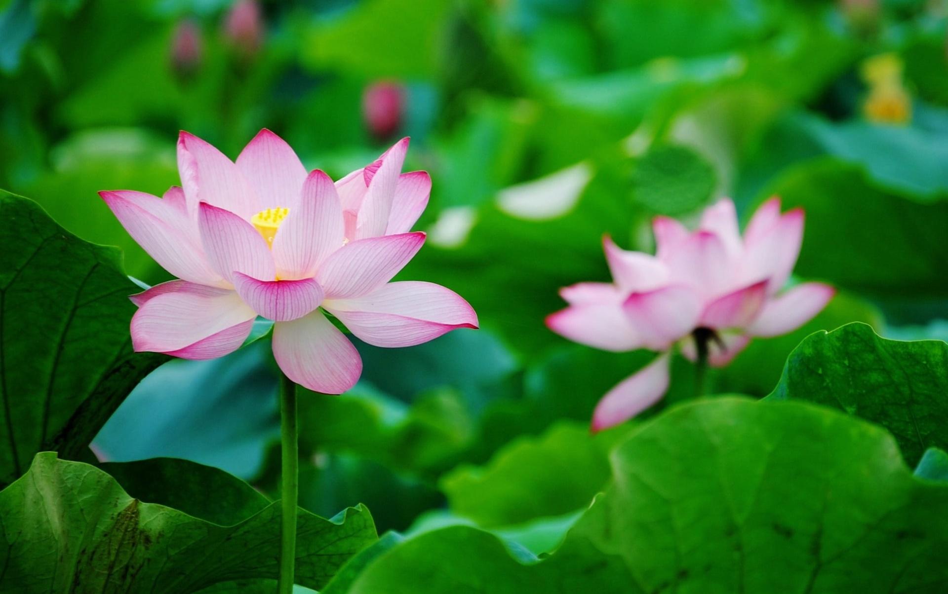Loài hoa này tượng trưng cho sự thuần khiết