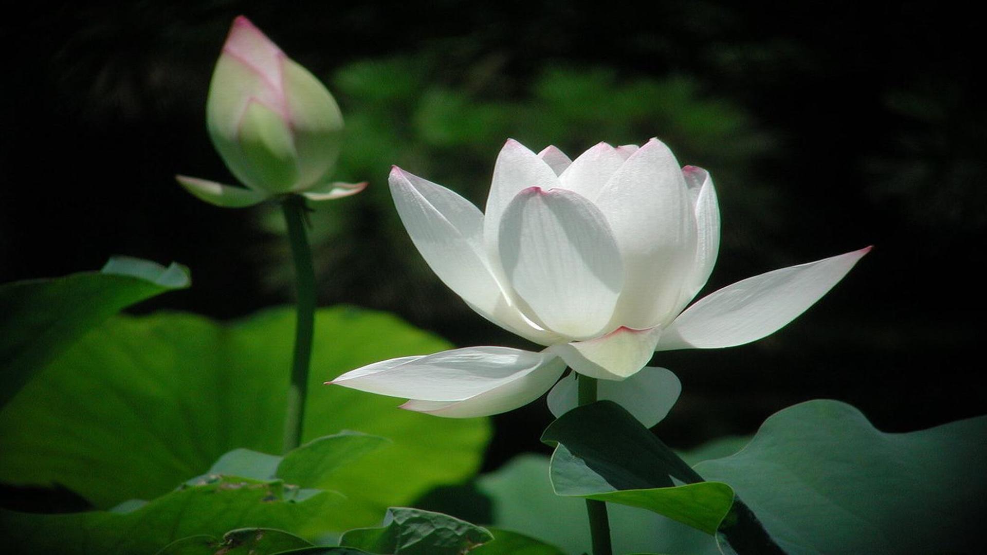 Hình nền về hoa sen rất được yêu thích