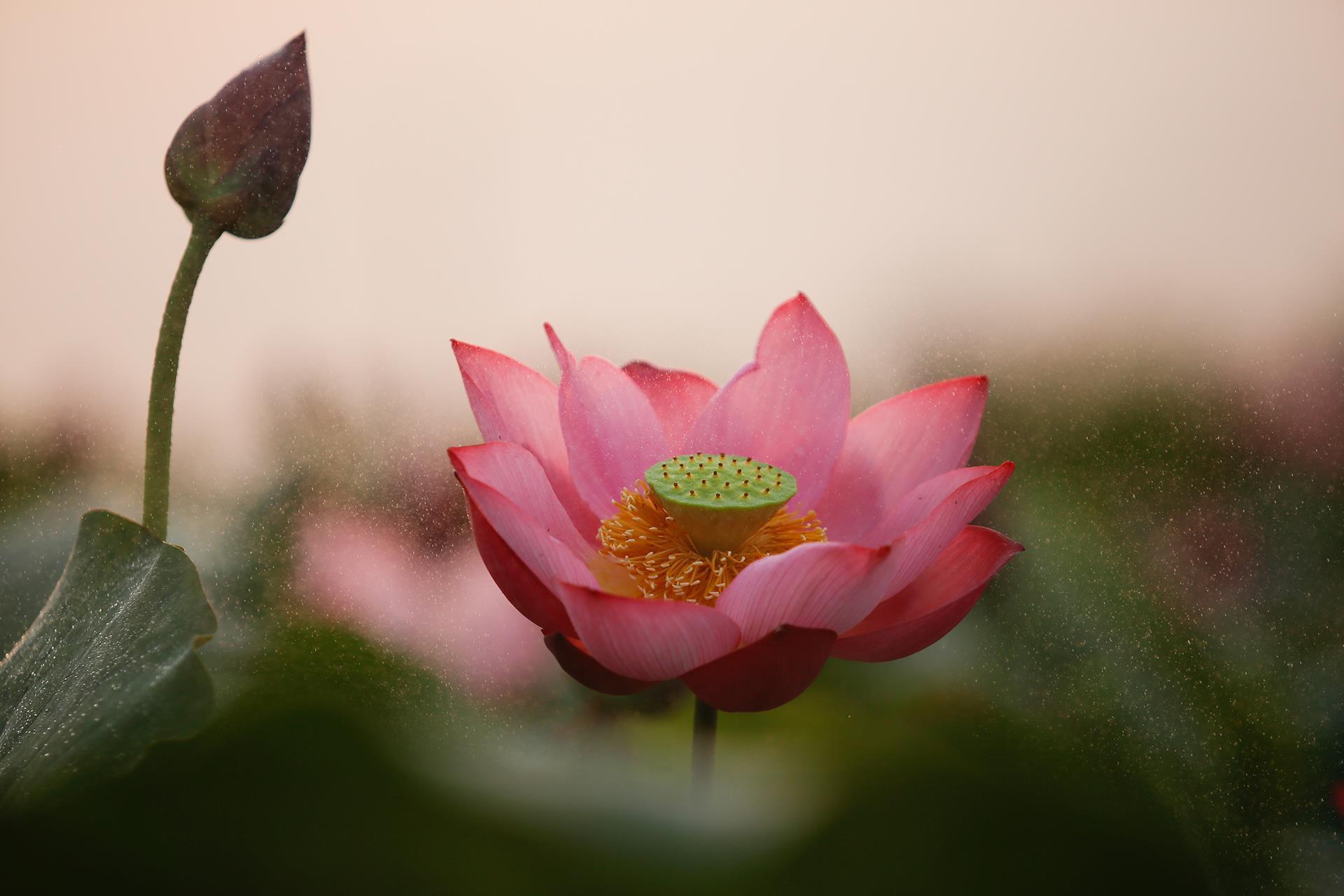 Hoa sen trong buổi chiều tà