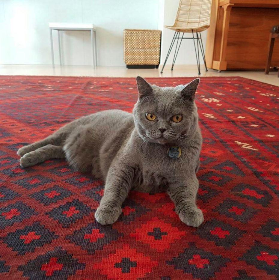 Chân loài mèo này cũng không dài nhưng chắc