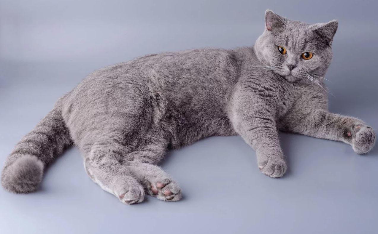 Một chú mèo với bộ lông xám nhạt