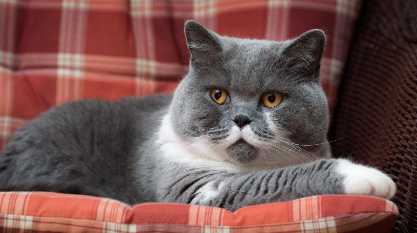 Mèo Anh lông ngắn nhiều màu khá hiếm gặp