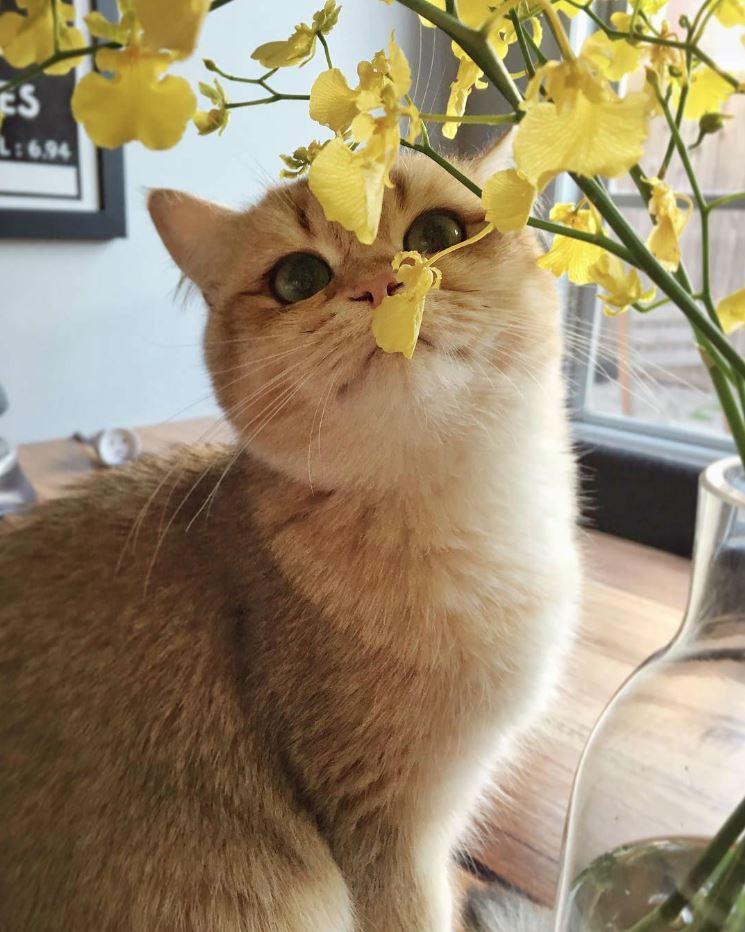 Mèo Anh lông ngắn màu vàng có tỷ lệ thấp hơn